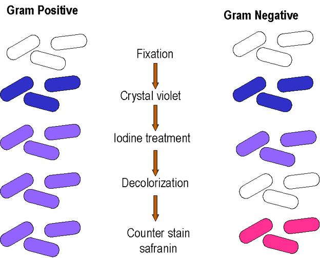 differential staining gram stain - Coloration Gram